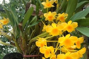 Kỹ thuật trồng hoa lan Hoàng thảo cho hoa nở đẹp quanh năm