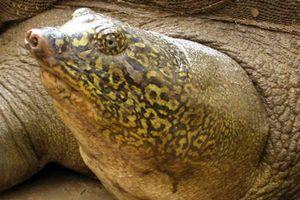 Rùa khổng lồ liên tục xé lưới và chuyện làm thịt cụ rùa 2,8 tạ ở Ba Vì