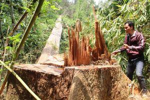 Cận cảnh rừng lim hàng trăm năm tuổi bị 'xẻ thịt'