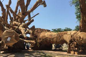 Cận cảnh 3 cây 'quái thú' bị CSGT Thừa Thiên- Huế bắt giữ