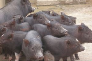 Khám phá giống lợn sóc thuần, phổ biến ở Tây Nguyên
