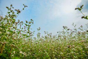 Cận cảnh vườn hoa tam giác mạch nở trái mùa giữa lòng Hà Nội
