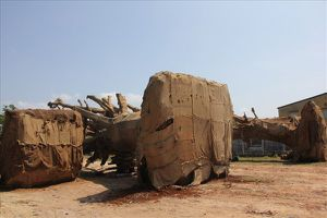 Vụ 3 cây cổ thụ 'khủng' bị bắt giữ: Chở ra Hà Nội làm bóng mát