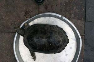 Bị phạt 3 triệu đồng vì bán rùa quý hiếm