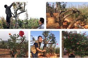 Chiêm ngưỡng những gốc hồng cổ đắt đỏ của 'đại gia' Việt