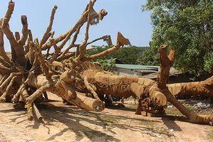 3 cây siêu khủng bị tạm giữ, 1 cây có hồ sơ giả