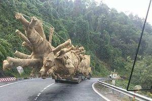 Thông tin bất ngờ về 1 cây gỗ khủng bị CSGT bắt giữ ở Thừa Thiên Huế
