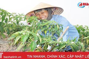 Nông dân Hà Tĩnh liên kết trồng ớt thu nhập gấp 5 lần trồng lúa