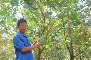 Lão nông đa canh vườn cây ăn trái, không bao giờ lo thất thu