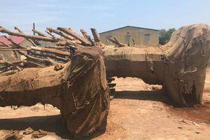 Vụ 3 cây gỗ 'khủng' bị bắt giữ ở Huế: 1 cây vẫn vô chủ