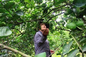Chanh được mùa, giá cao, dân Long An trúng đậm lãi trăm triệu đồng/hecta