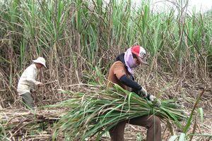 Người trồng mía Bình Định 'cầu cứu' nhà máy đường An Khê