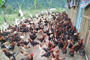 Bắc Kạn: Cả thôn làm giàu từ chăn nuôi gà thả đồi