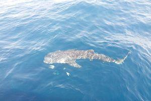 Ngư dân Phú Quốc phát hiện cá voi xám quý hiếm trên biển