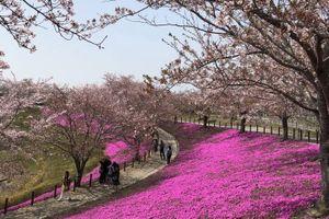 Đến Nhật không ngắm hoa anh đào