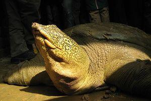 Bất ngờ phát hiện cá thể rùa Hoàn Kiếm ở ngoại thành Hà Nội