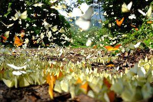 Đẹp 'quên lối về' mùa bướm bay rợp trời ở Cúc Phương