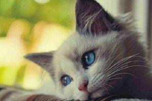 GÓC KHUẤT 12 CON GIÁP: 'Chảnh mèo' và làm biếng như người tuổi Mão