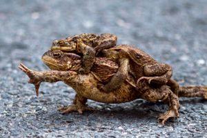 Ảnh động vật tuần: Ếch cái mệt nhọc cõng hai con đực trên lưng