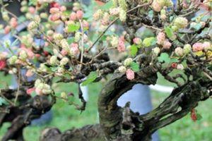 Dàn 'người đẹp' bonsai dâu tằm trĩu quả khiến dân Sài thành mê mẩn