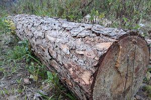 Rừng thông cổ thụ ở Lâm Đồng bị lâm tặc tàn phá