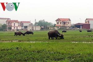 Thả trâu bò phải đóng phí: Thanh Hóa yêu cầu trả lại tiền phí cho dân