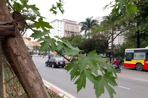Dân thủ đô bớt 'phập phồng' trước hàng phong xanh ngát