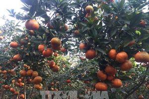 Khuyến cáo nông dân Trà Vinh không nên ồ ạt bỏ lúa để trồng cam