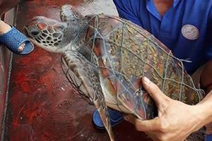 Phát hiện rùa biển quý hiếm dính lưới, trên mai có nhiều 'hoa văn' lạ