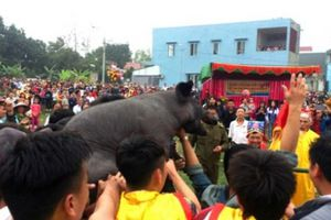 Phú Thọ: Hàng trăm người vây bắt lợn ông Cầu lấy hên đầu xuân
