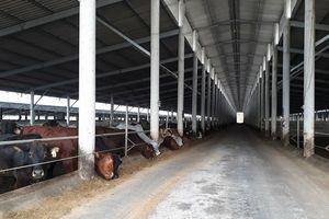 Nghệ An: Trang trại bò Úc xây dựng 'chui' trên hàng chục héc ta đất lâm nghiệp