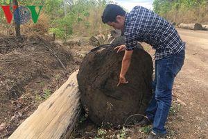 Gỗ bị bắt ở Đắk Nông không phải từ vườn quốc gia Yok Đôn