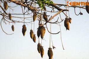 Xem cây bao báp ra quả chi chít, cực lạ ở Việt Nam