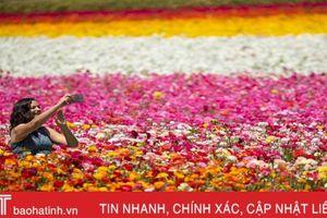 Ngắm cánh đồng hoa mao lương đầy màu sắc ở California, Mỹ