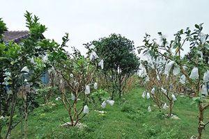 Thu nhập khá từ mô hình trồng ổi lê Đài Loan