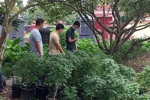 Hải Phòng: Bắt cựu sinh viên đại học Bách Khoa trồng cần sa, truyền đạo trái phép