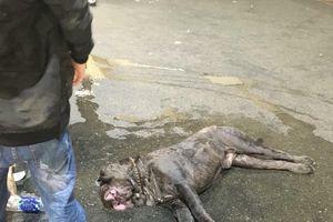 Chó Ngao Neapolitan Mastiff gần 200 triệu chết ở sân bay vì sốc nhiệt khi vận chuyển từ Nga về Việt Nam