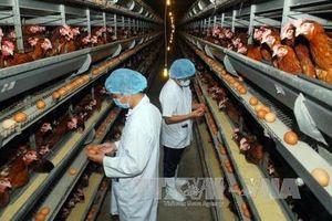 Chăn nuôi an toàn hướng tới xuất khẩu