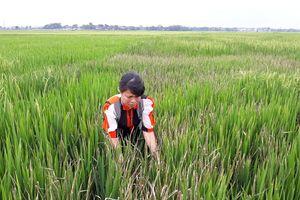 Thù hằn cá nhân, tưới thuốc diệt cỏ 'cực mạnh' phá hoại 4 sào lúa