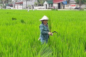 Thanh Hóa: 'Lúa ma' xuất hiện nhan nhản dưới ruộng, nhiều nông dân điêu đứng