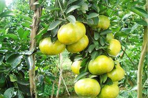 Kỹ thuật trồng cây quýt đường chuẩn nhất cho năng suất vượt trội