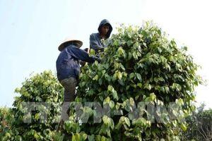 Phát triển bền vững ngành hồ tiêu - Bài cuối: Giữ vững thương hiệu hồ tiêu Việt