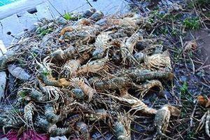 Tôm hùm chết hàng loạt, dân vội bán tháo giá 300.000đ/kg