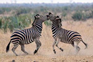 Clip: Màn giao đấu không khoan nhượng giữa 2 con ngựa vằn