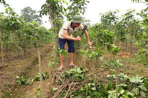 Hậu quả từ trồng đinh lăng theo phong trào