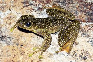 Tường tận loài ếch quý hiếm mới được phát hiện ở Việt Nam