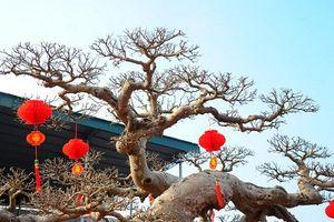 Ngắm loạt cây sanh dáng long tiền tỷ của đại gia Việt