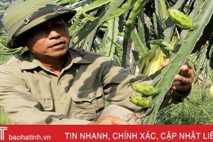 Một nông dân sở hữu 2.500 gốc thanh long ruột đỏ ở Can Lộc