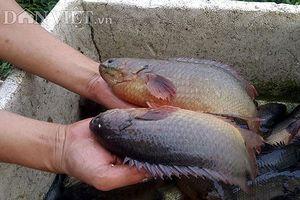 Làm giàu từ nuôi cá rô đồng thu hàng trăm triệu mỗi vụ