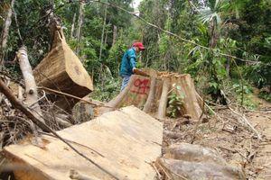 Quảng Nam: Rừng phòng hộ Sông Kôn lại tiếp tục bị tàn phá